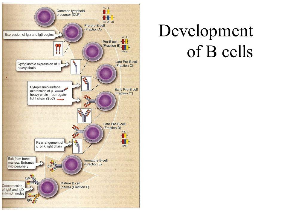 Development of B cells