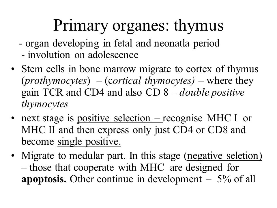 Primary organes: thymus - organ developing in fetal and neonatla period - involution on adolescence Stem cells in bone marrow migrate to cortex of thymus (prothymocytes) – (cortical thymocytes) – where they gain TCR and CD4 and also CD 8 – double positive thymocytes next stage is positive selection – recognise MHC I or MHC II and then express only just CD4 or CD8 and become single positive.