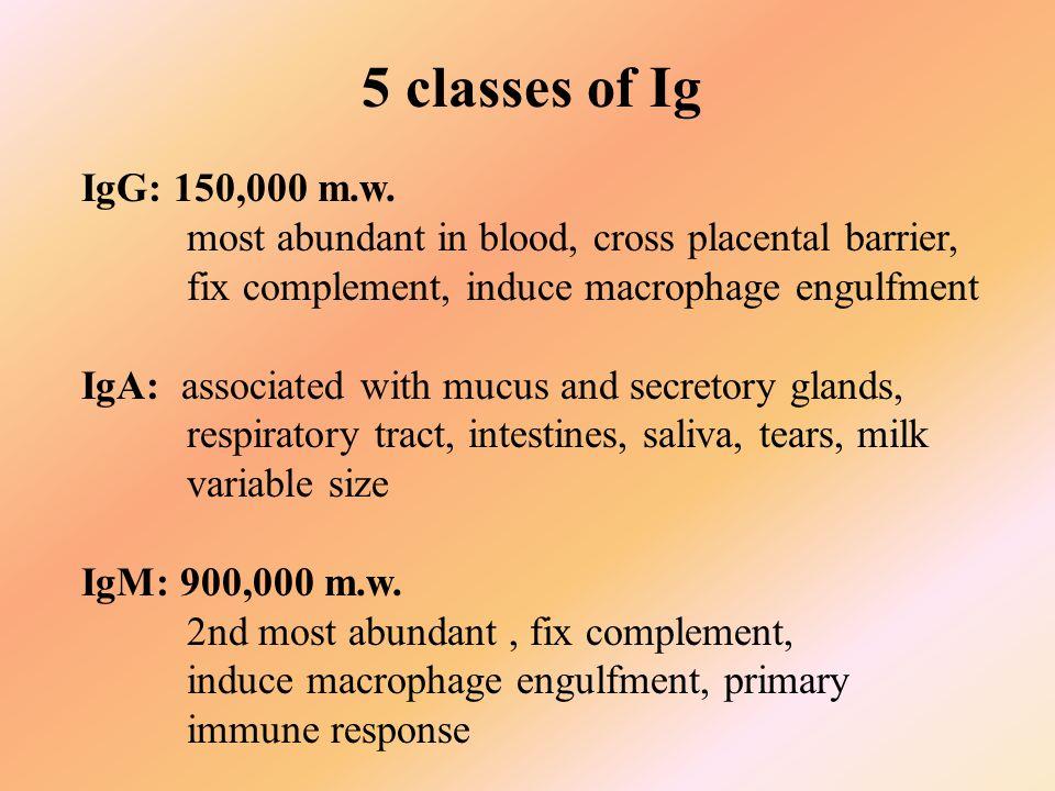 5 classes of Ig IgG: 150,000 m.w.
