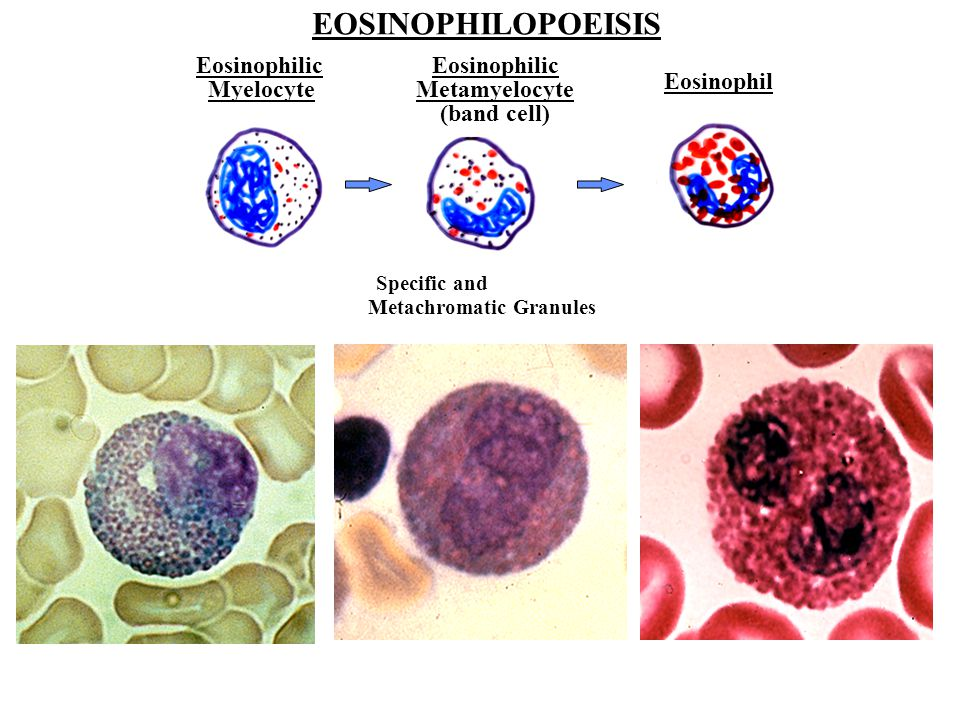 Eosinophilopoeisis- Several Stages