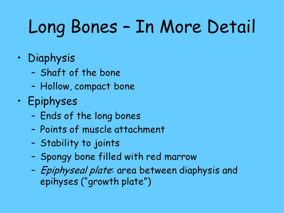 Long Bones – In More Detail Diaphysis –Shaft of the bone –Hollow, compact bone Epiphyses –Ends of the long bones –Points of muscle attachment –Stability to joints –Spongy bone filled with red marrow –Epiphyseal plate: area between diaphysis and epihyses ( growth plate )