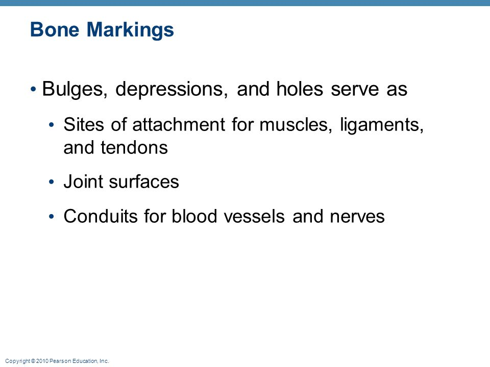 Copyright © 2010 Pearson Education, Inc. Bone Markings Bulges, depressions, and holes serve as Sites of attachment for muscles, ligaments, and tendons