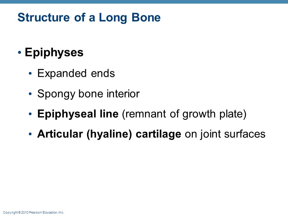 Copyright © 2010 Pearson Education, Inc. Structure of a Long Bone Epiphyses Expanded ends Spongy bone interior Epiphyseal line (remnant of growth plat
