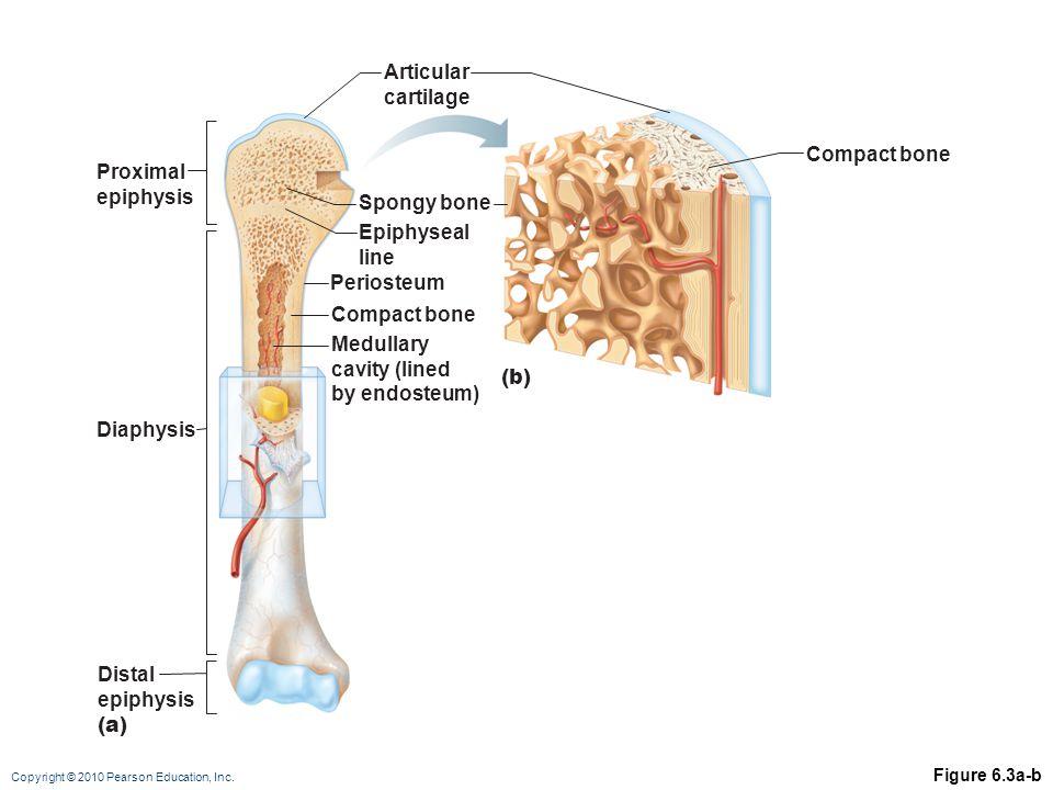 Copyright © 2010 Pearson Education, Inc. Figure 6.3a-b Proximal epiphysis (b) (a) Epiphyseal line Articular cartilage Periosteum Spongy bone Compact b