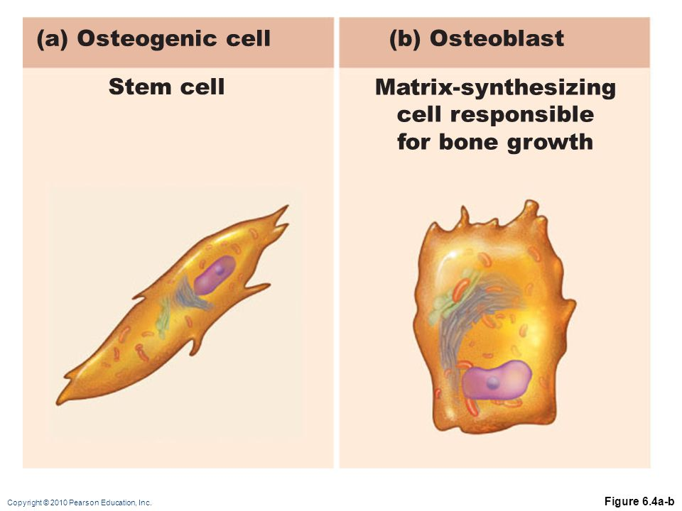Copyright © 2010 Pearson Education, Inc. Figure 6.4a-b (a) Osteogenic cell(b) Osteoblast Stem cell Matrix-synthesizing cell responsible for bone growt