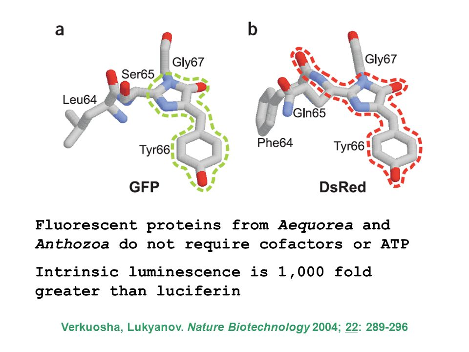 Fluorescent proteins from Aequorea and Anthozoa do not require cofactors or ATP Intrinsic luminescence is 1,000 fold greater than luciferin Verkuosha, Lukyanov.