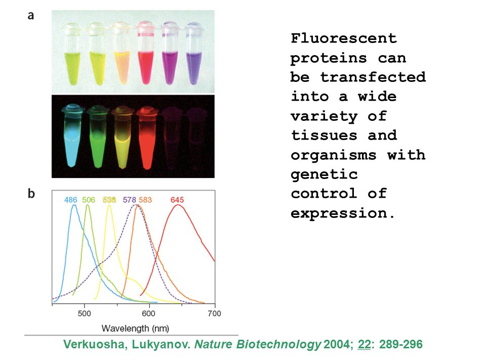 Fluorescent proteins can be transfected into a wide variety of tissues and organisms with genetic control of expression.