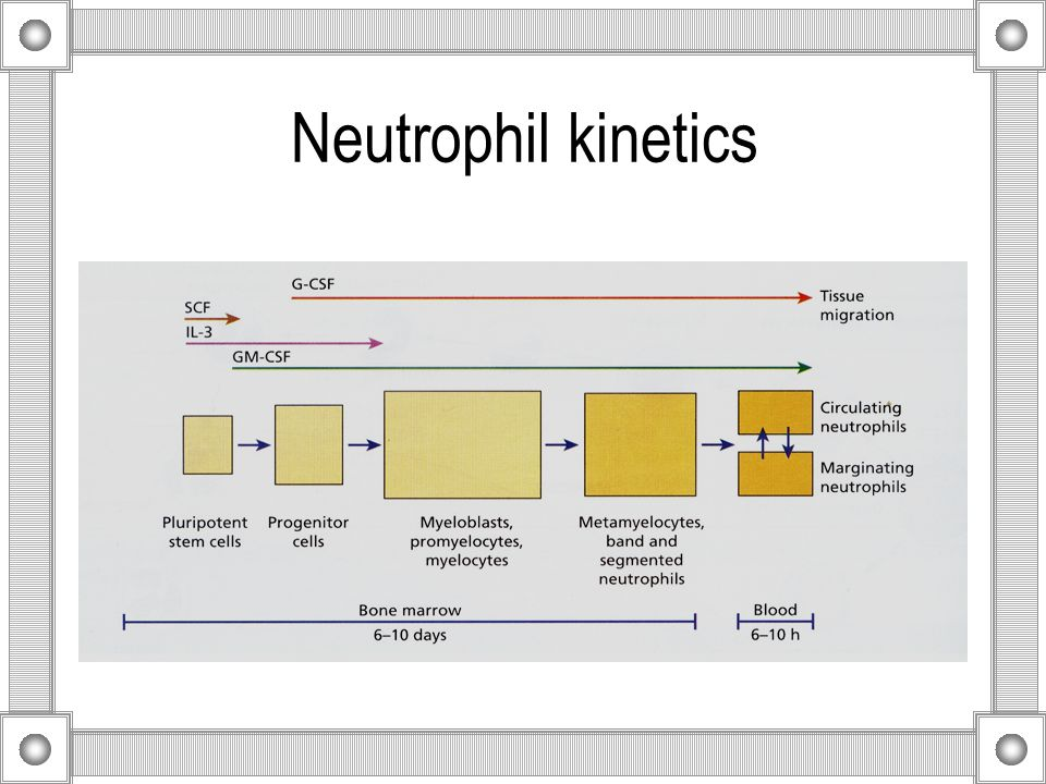 Neutrophil kinetics