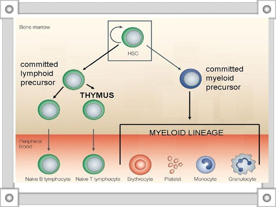 Lymphocytes - Maturation Lymphoblast to prolymphocyte Lymphoblast is small, 10-18 um Round to oval nucleus Loose chromatin with one or more active nucleoli Scanty cytoplasm Prolymphocyte difficult to distinguish, subtle changes, more clumped chromatin, lessening nucleolar priminence, change in thickness of the nuclear membrane