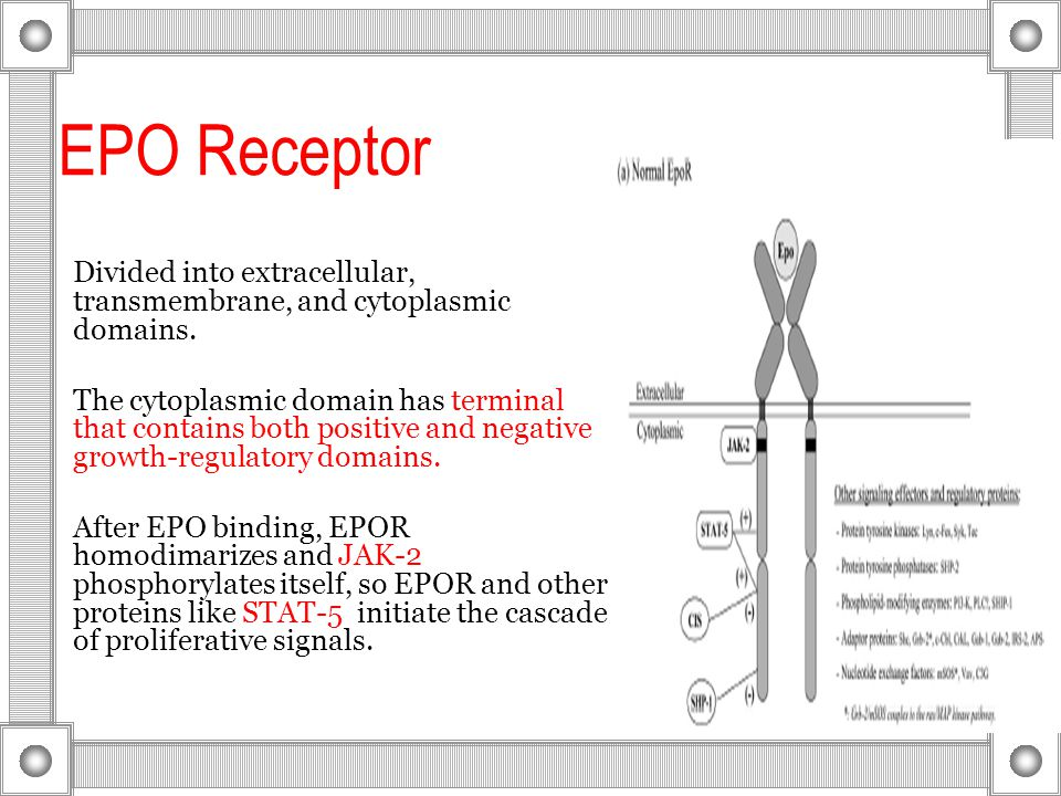 EPO Receptor Divided into extracellular, transmembrane, and cytoplasmic domains.