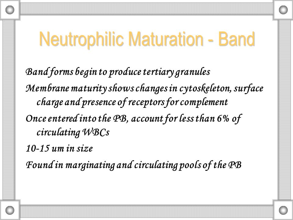 Neutrophilic Maturation - Band Band forms begin to produce tertiary granules Membrane maturity shows changes in cytoskeleton, surface charge and presence of receptors for complement Once entered into the PB, account for less than 6% of circulating WBCs 10-15 um in size Found in marginating and circulating pools of the PB
