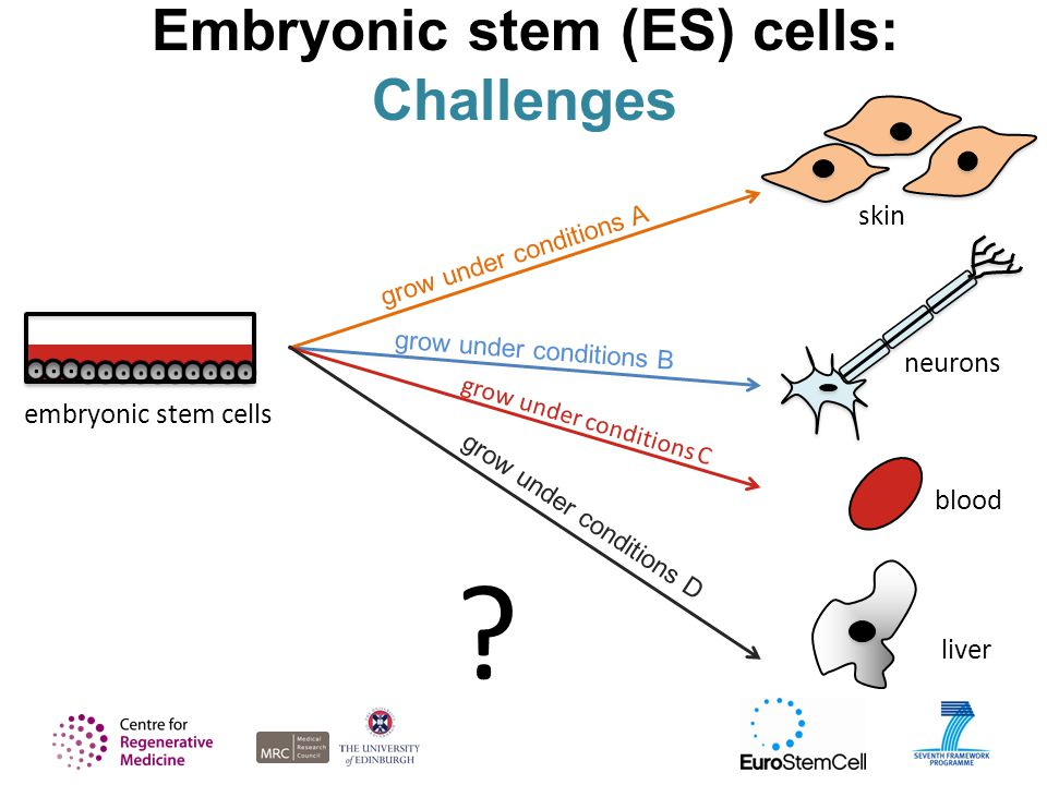 neurons grow under conditions B Embryonic stem (ES) cells: Challenges embryonic stem cells skin grow under conditions A blood grow under conditions C liver grow under conditions D