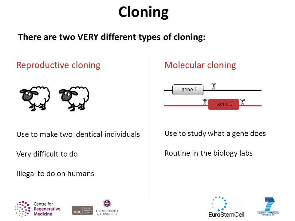 There are two VERY different types of cloning: Reproductive cloning Use to make two identical individuals Very difficult to do Illegal to do on humans Molecular cloning Use to study what a gene does Routine in the biology labs gene 1 gene 2