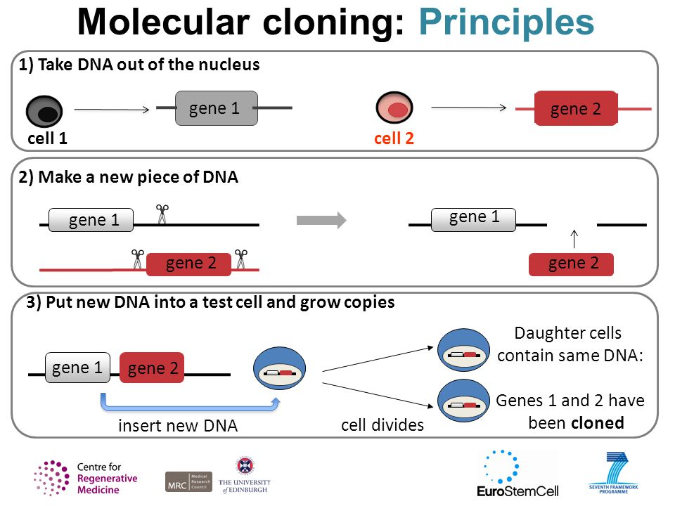 Molecular cloning: Principles gene 1 gene 2 2) Make a new piece of DNA gene 1 gene 2 1) Take DNA out of the nucleus cell 1cell 2 gene 1 gene 2 3) Put new DNA into a test cell and grow copies gene 1 cell divides Daughter cells contain same DNA: Genes 1 and 2 have been cloned gene 2 insert new DNA