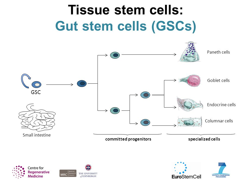Tissue stem cells: Gut stem cells (GSCs) GSC Small intestine committed progenitors Paneth cells Columnar cells Goblet cells Endocrine cells specialized cells
