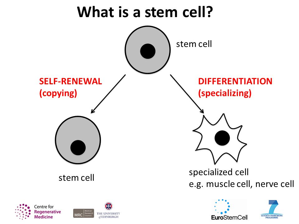 stem cell What is a stem cell. stem cell SELF-RENEWAL (copying) specialized cell e.g.