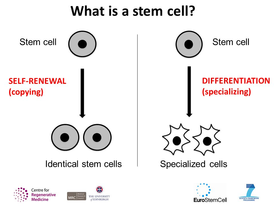 What is a stem cell.
