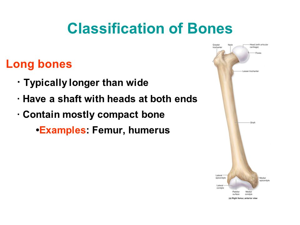 Classification of Bones Long bones · Typically longer than wide · Have a shaft with heads at both ends · Contain mostly compact boneExamples: Femur, h