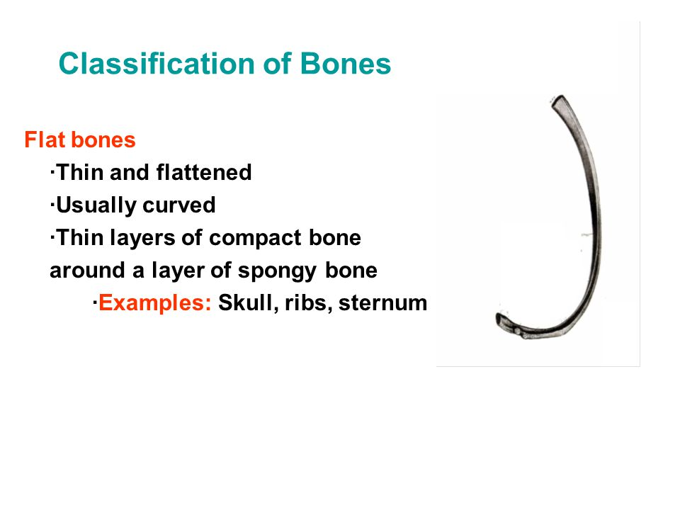 Classification of Bones Flat bones ·Thin and flattened ·Usually curved ·Thin layers of compact bone around a layer of spongy bone ·Examples: Skull, ri