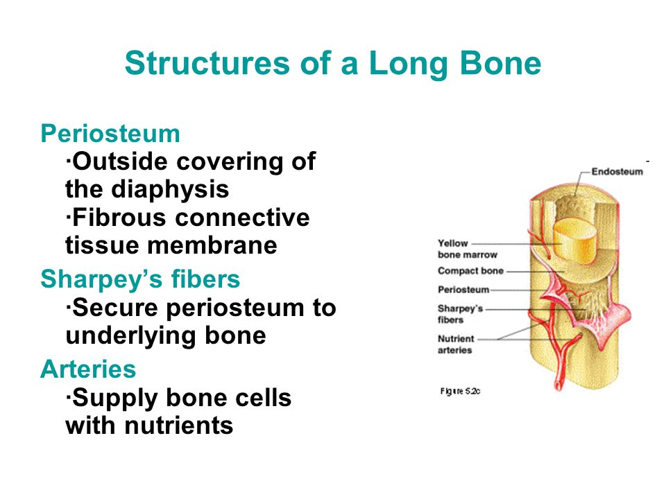 Structures of a Long Bone Periosteum ·Outside covering of the diaphysis ·Fibrous connective tissue membrane Sharpey's fibers ·Secure periosteum to underlying bone Arteries ·Supply bone cells with nutrients