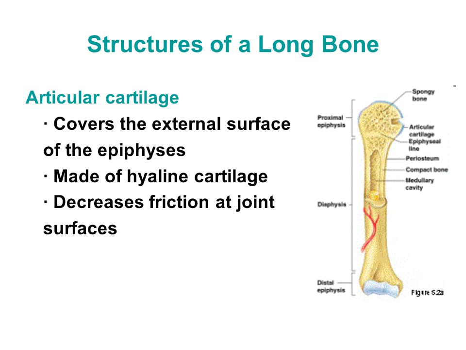 Structures of a Long Bone Articular cartilage · Covers the external surface of the epiphyses · Made of hyaline cartilage · Decreases friction at joint surfaces