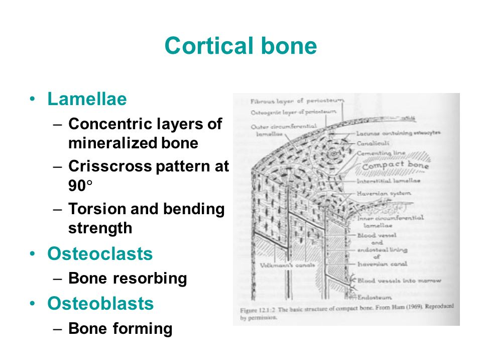 Cortical bone Lamellae –Concentric layers of mineralized bone –Crisscross pattern at 90  –Torsion and bending strength Osteoclasts –Bone resorbing Osteoblasts –Bone forming