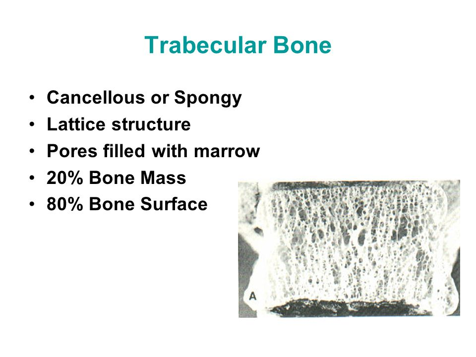 Trabecular Bone Cancellous or Spongy Lattice structure Pores filled with marrow 20% Bone Mass 80% Bone Surface