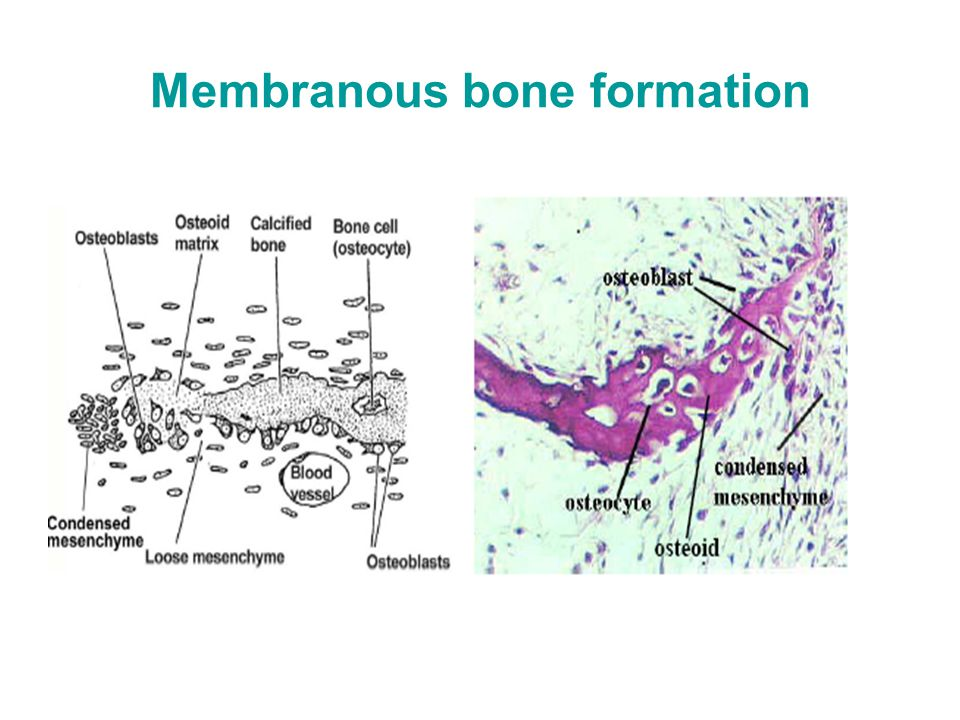 Membranous bone formation