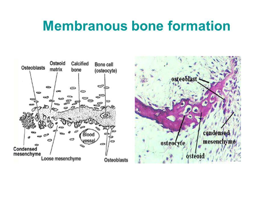 Membranous bone formation