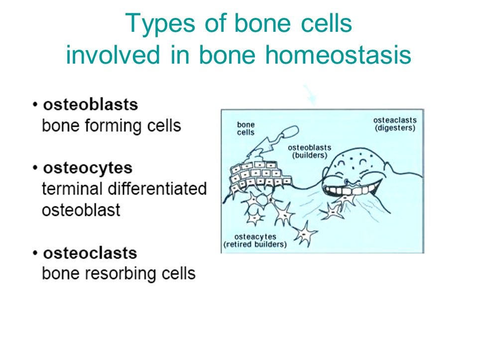 Types of bone cells involved in bone homeostasis