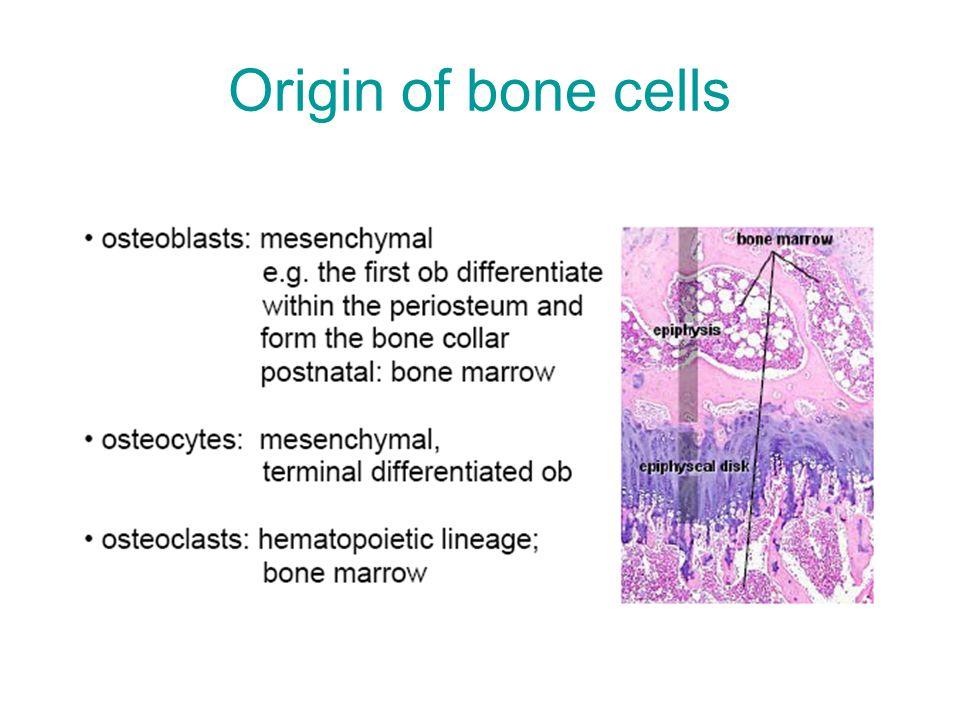 Origin of bone cells