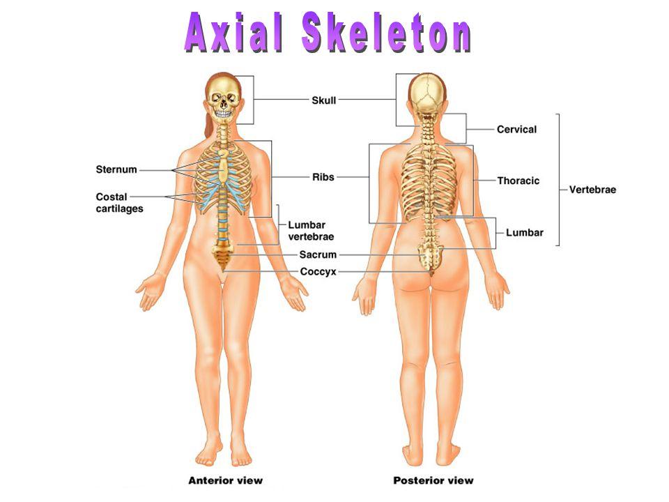 Additional bones Mainly in the skull: ossa interfrontalis, coronalis, sagittalis, lambdoidalis, etc.
