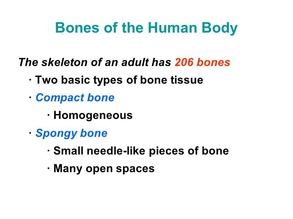 Bones of the Human Body The skeleton of an adult has 206 bones · Two basic types of bone tissue · Compact bone · Homogeneous · Spongy bone · Small nee