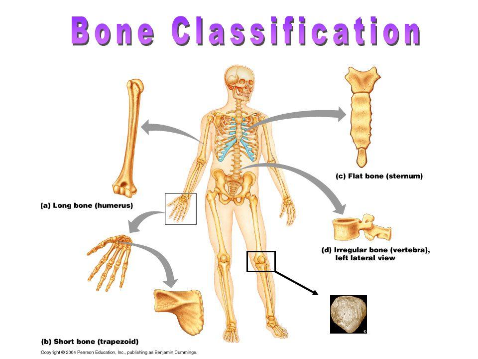 Long Bones- metacarples, metatarsals, phalanges, humerus, ulna, radius, tibia, fibula Short Bones- carpals, tarsals Flat Bones- rib, scapula, skull, sternum Irregular Bones- vertebrae, some facial bones Sesamoid- patella