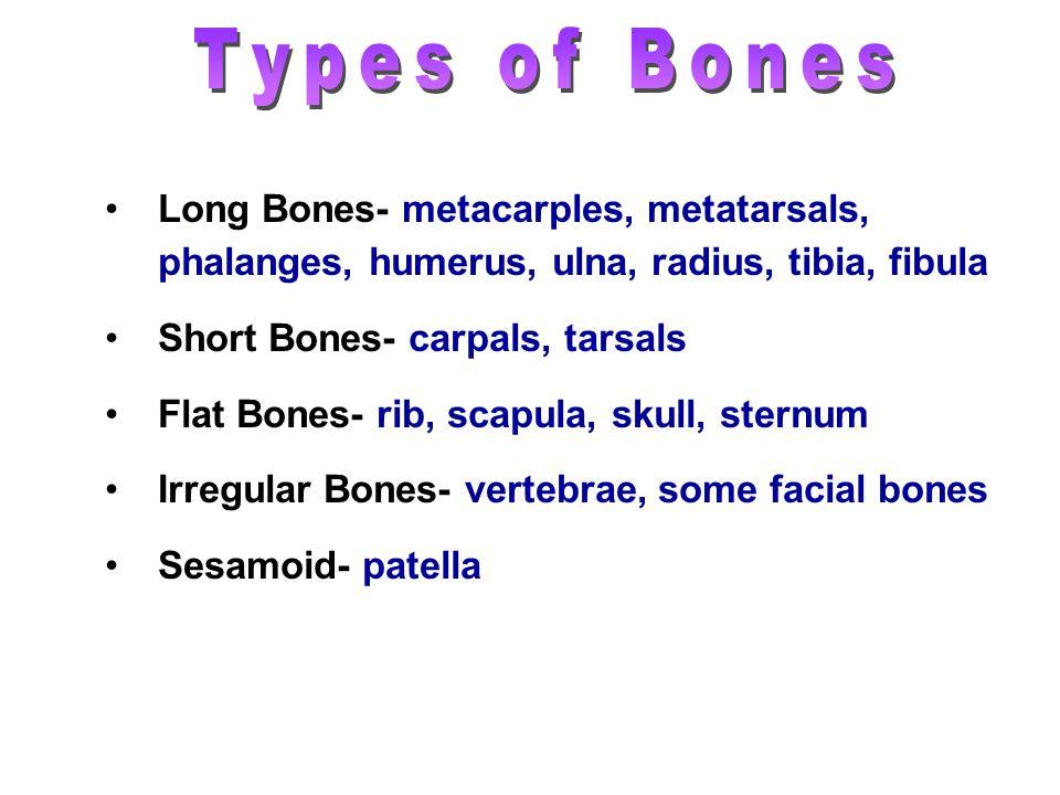 Long Bones- metacarples, metatarsals, phalanges, humerus, ulna, radius, tibia, fibula Short Bones- carpals, tarsals Flat Bones- rib, scapula, skull, s