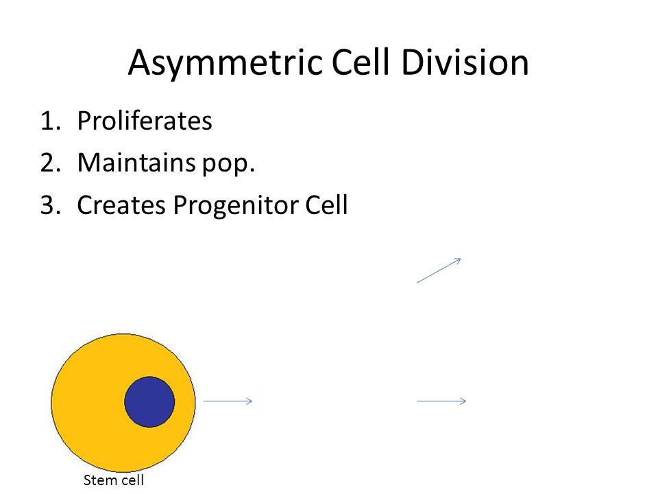 Asymmetric Cell Division 1.Proliferates 2.Maintains pop. 3.Creates Progenitor Cell Progenitor cell Stem cell