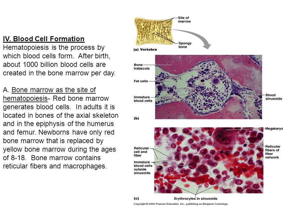 IV.Blood Cell Formation Hematopoiesis is the process by which blood cells form.