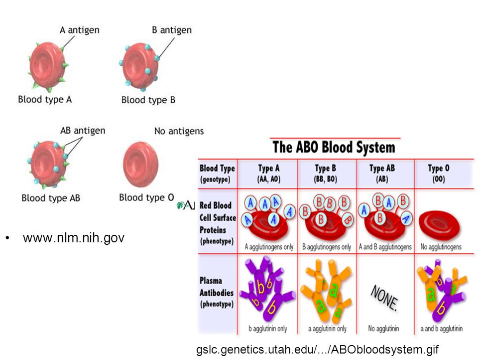 www.nlm.nih.gov gslc.genetics.utah.edu/.../ABObloodsystem.gif