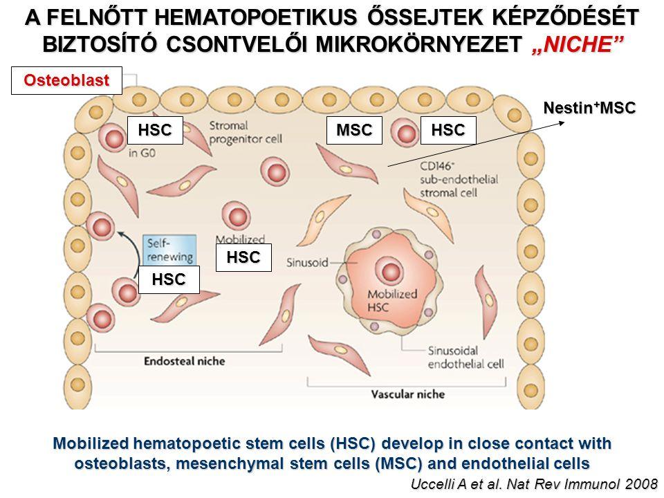 """A FELNŐTT HEMATOPOETIKUS ŐSSEJTEK KÉPZŐDÉSÉT BIZTOSÍTÓ CSONTVELŐI MIKROKÖRNYEZET """"NICHE"""" Osteoblast MSCHSC HSC HSC HSC Mobilized hematopoetic stem cel"""