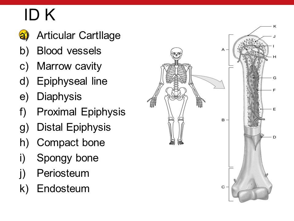 ID K a)Articular CartIlage b)Blood vessels c)Marrow cavity d)Epiphyseal line e)Diaphysis f)Proximal Epiphysis g)Distal Epiphysis h)Compact bone i)Spongy bone j)Periosteum k)Endosteum