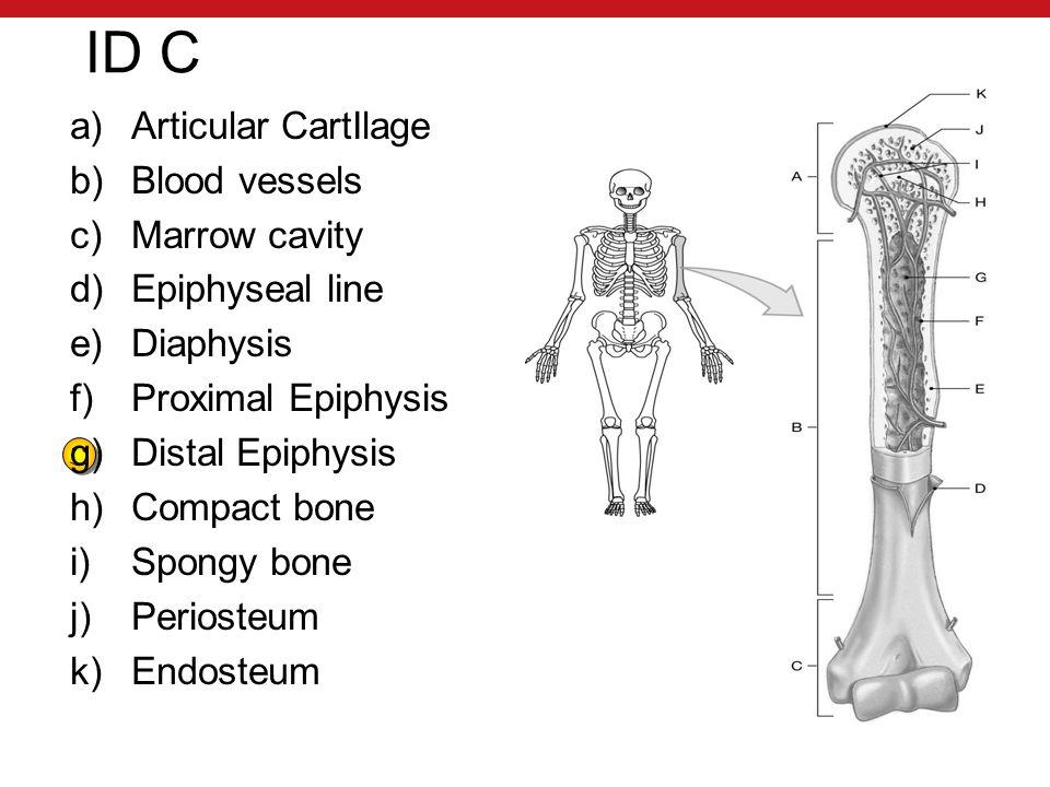 ID C a)Articular CartIlage b)Blood vessels c)Marrow cavity d)Epiphyseal line e)Diaphysis f)Proximal Epiphysis g)Distal Epiphysis h)Compact bone i)Spongy bone j)Periosteum k)Endosteum