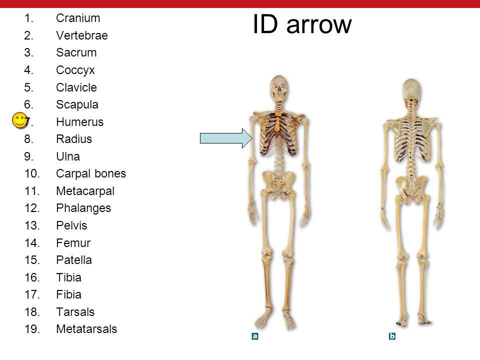 ID arrow 1.Cranium 2.Vertebrae 3.Sacrum 4.Coccyx 5.Clavicle 6.Scapula 7.Humerus 8.Radius 9.Ulna 10.Carpal bones 11.Metacarpal 12.Phalanges 13.Pelvis 14.Femur 15.Patella 16.Tibia 17.Fibia 18.Tarsals 19.Metatarsals