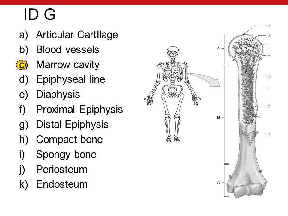 ID G a)Articular CartIlage b)Blood vessels c)Marrow cavity d)Epiphyseal line e)Diaphysis f)Proximal Epiphysis g)Distal Epiphysis h)Compact bone i)Spongy bone j)Periosteum k)Endosteum