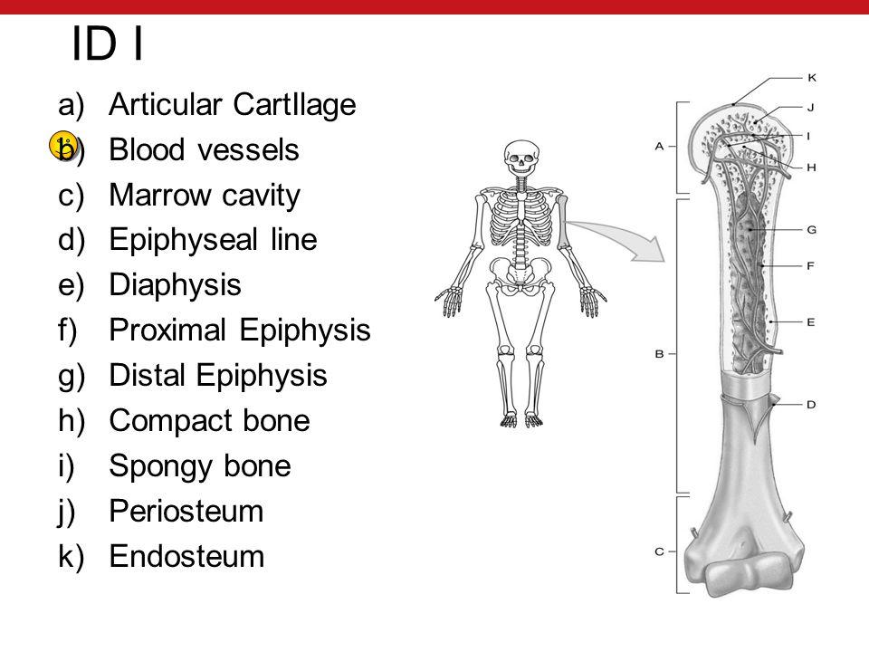 ID I a)Articular CartIlage b)Blood vessels c)Marrow cavity d)Epiphyseal line e)Diaphysis f)Proximal Epiphysis g)Distal Epiphysis h)Compact bone i)Spongy bone j)Periosteum k)Endosteum