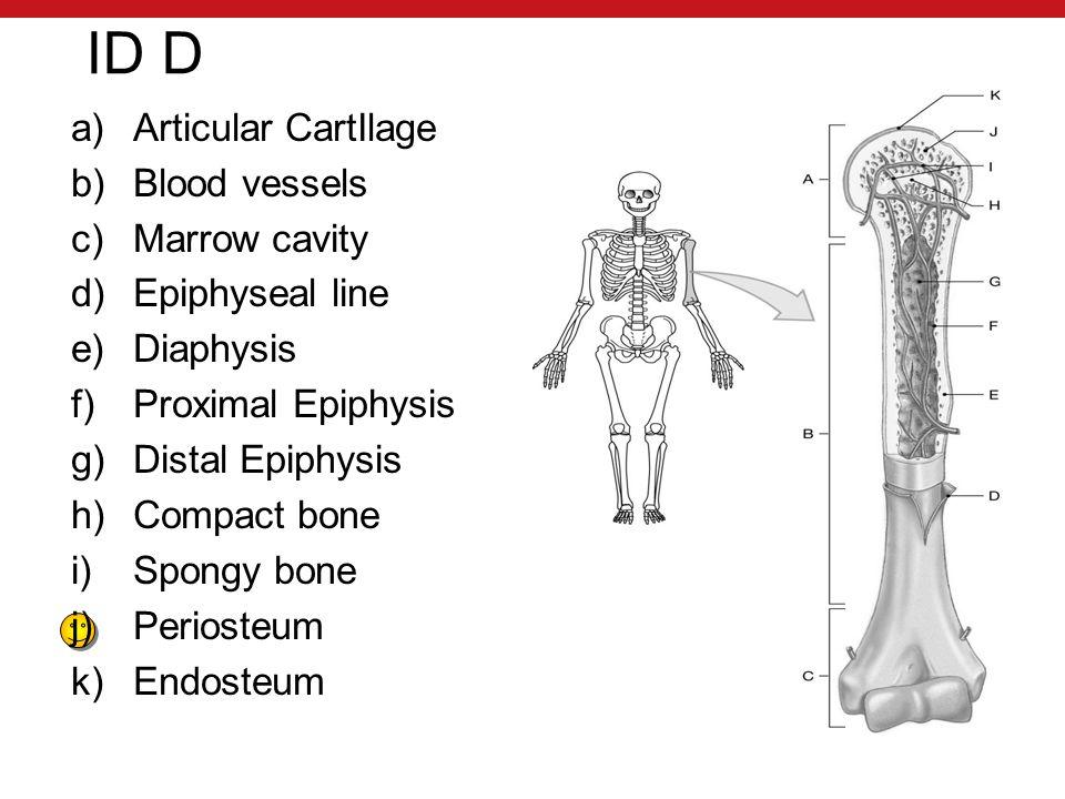 ID D a)Articular CartIlage b)Blood vessels c)Marrow cavity d)Epiphyseal line e)Diaphysis f)Proximal Epiphysis g)Distal Epiphysis h)Compact bone i)Spongy bone j)Periosteum k)Endosteum