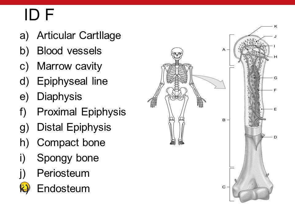 ID F a)Articular CartIlage b)Blood vessels c)Marrow cavity d)Epiphyseal line e)Diaphysis f)Proximal Epiphysis g)Distal Epiphysis h)Compact bone i)Spongy bone j)Periosteum k)Endosteum