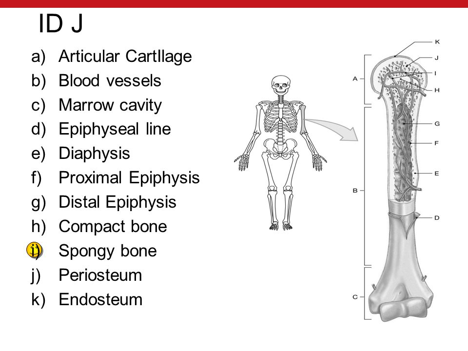 ID J a)Articular CartIlage b)Blood vessels c)Marrow cavity d)Epiphyseal line e)Diaphysis f)Proximal Epiphysis g)Distal Epiphysis h)Compact bone i)Spongy bone j)Periosteum k)Endosteum