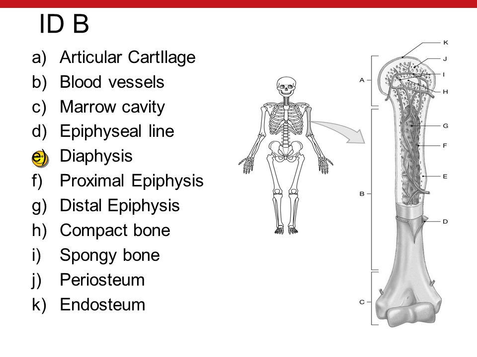ID B a)Articular CartIlage b)Blood vessels c)Marrow cavity d)Epiphyseal line e)Diaphysis f)Proximal Epiphysis g)Distal Epiphysis h)Compact bone i)Spongy bone j)Periosteum k)Endosteum