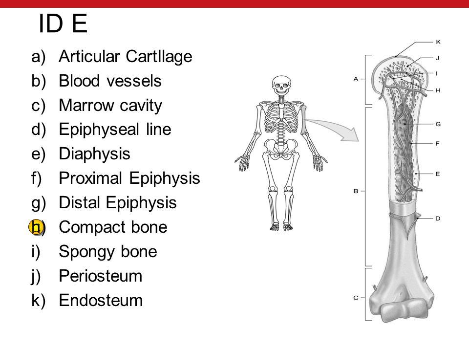 ID E a)Articular CartIlage b)Blood vessels c)Marrow cavity d)Epiphyseal line e)Diaphysis f)Proximal Epiphysis g)Distal Epiphysis h)Compact bone i)Spongy bone j)Periosteum k)Endosteum