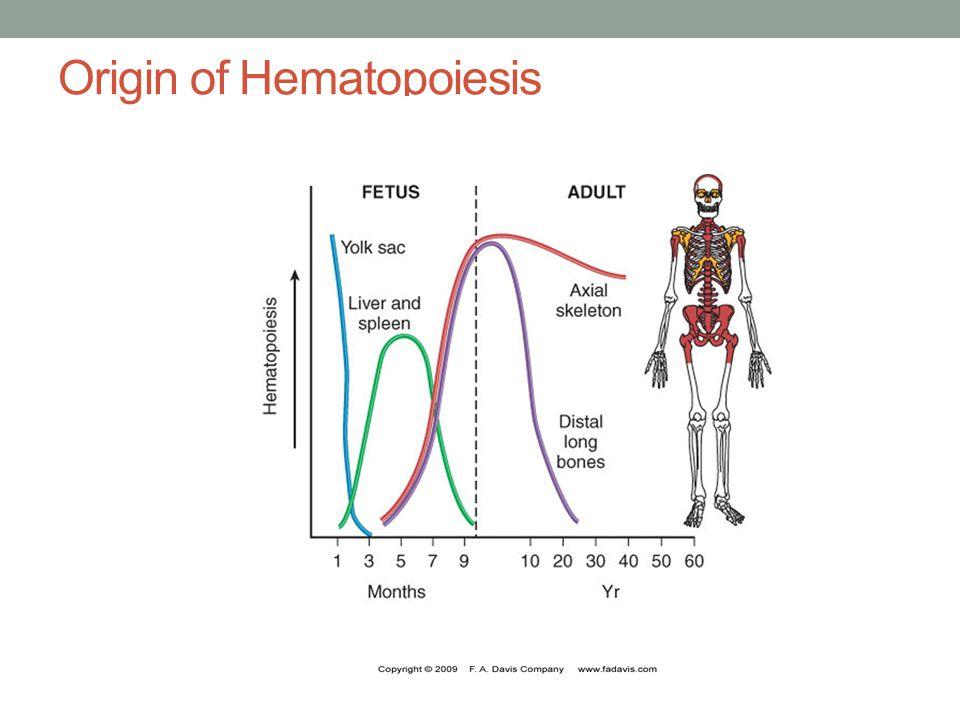  Shaft of long bones – until 4 yrs. Sternum, ribs, pelvis, vertebrae, skull – at 18-20 yrs.